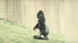 La acción de las autoridades se inició el domingo cuando dos vecinos de Banda Oriental afirmaron haber visto a un gorila caminar por la zona. (Archivo)