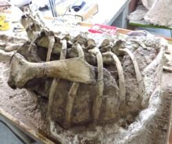 El nuevo dinosaurio se incorporará a la colección del museo paleontológico de Rincón de los Sauces.