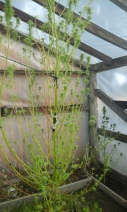 Una de las plantas de cannabis sativa encontrada en el lugar