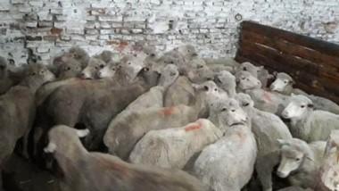 El tránsito y transporte de los ovinos carecían de documentación y presentaban severas irregularidades.