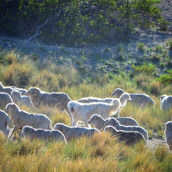 Lana sustentable: productores y científicos de Patagonia trabajan en fibras de alto nivel