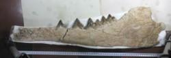 Fósil bien conservado de un ancestro anfibio y cuadrúpedo de las ballenas.