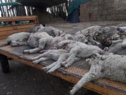 La matanza de ovejas es un problema recurrente en el valle (foto El Valle Online)