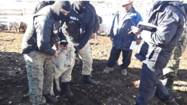 Efectivos policiales de Chubut y Río Negro en los allanamientos. Hallaron hasta un matadero clandestino.