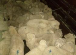 La policía recuperó 47 animales (foto @eqsnotas)