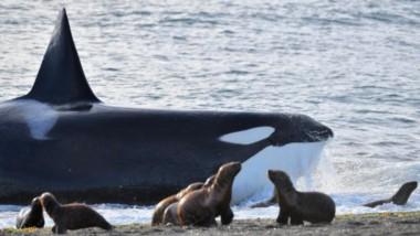 Este año hubo un record de avistamiento en el mirador de Punta Norte. Fueron 37 días donde se vieron orcas, contra 22 del año pasado.