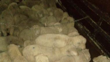 Los 47 lanares eran llevados por un camión hacia Paso de Indios.