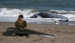 La ballena franca del Atlántico Norte se encuentra entre las especies con mayor peligro de extinción del mundo.
