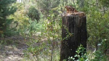 La tala de cipreses se repite en Cerro Radal y otros puntos de la comarca.