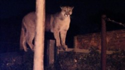 El puma fue atrapado en una medianera (foto @lanuevaweb)