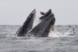 Dekker cree que la suya es la primera fotografía que se hace en la historia de una ballena jorobada