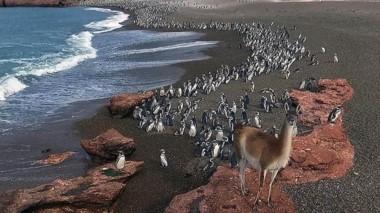 El pingüino es una especie que año tras año retorna al mismo lugar de nidificación.