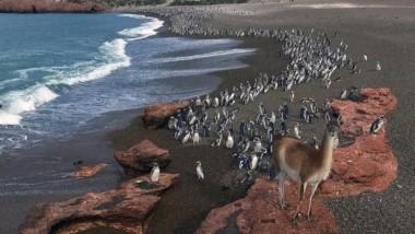 """Se inicia la temporada en Tombo. """"La pingüinera más fantástica del mundo"""" se encuentra a poco más de 100 kilómetros de la ciudad de Trelew."""