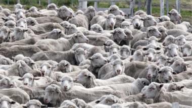 Esperanza. El precio de la lana ha mejorado la posición del sector del campo, pero todavía resta avanzar con el Plan Ganadero Provincial.