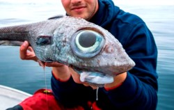"""Chimaeras Monstrosa, también es conocido coloquialmente como """"pez rata"""" o """"pez conejo""""."""