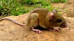 El hantavirus es una enfermedad que se transmite a los humanos a través de la orina, la saliva y las heces del ratón colilargo.