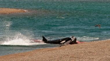 Ocurrió en Caleta Valdés y la imagen fue tomada por Claudio Nicolini, un conocido capitán de barco.
