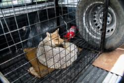 Un zorro suelto en el centro: el animal fue atrapado y será liberado en su ambiente natural.