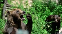 El traslado de los tres osos costará 75 mil dólares.