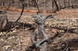 Cangurito quemado vivo en Australia. Este pequeño intentó huir y se quedó enganchado a esta reja mientras el fuego lo quemó sin poder escapar.