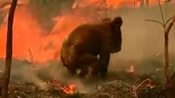 Al vivir gran parte de su vida en los árboles, los koalas son lentos en el suelo y mueren fácil entre las llamas.
