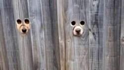 Cuando la mujer se acerca, los perros meten sus narices a través de un agujero hecho a medida. Sobre el orificio de la nariz hay dos pequeños orificios para que los perros puedan ver.