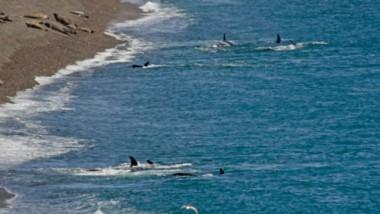 Los grupos de Llen y Jazmín realizando prácticas y juegos cerca de la orilla en Caleta Valdés. En la playa descansan los elefantes marinos.