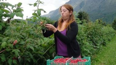 Los técnicos recomiendan pautas de cosecha para la frambuesa.