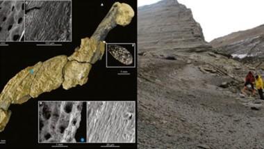 Esta piel fosilizada pertenece a la especie Palaeeudyptes gunnari, una de las especies más numerosas de pingüinos que vivía en la Antártida.