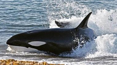 """La Muestra """"Orcas en Península Valdés"""" incluye esta imagen tomada por el fotógrafo Maximiliano Jonás."""