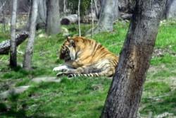 Un tigre contrae coronavirus tras contactar con un empleado infectado, hay más animales con síntomas.