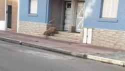 Sorpresa en Necochea: un carpincho salió a la calle durante cuarentena por coronavirus.