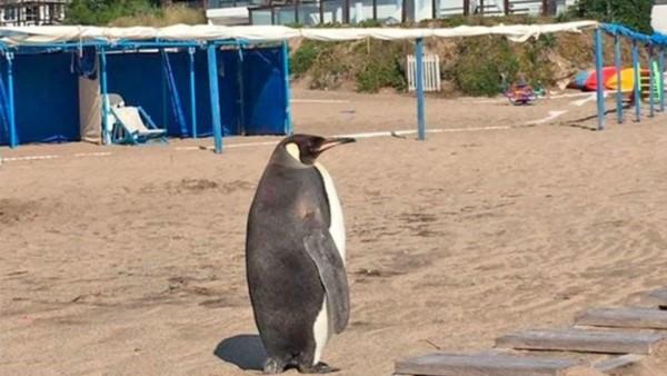 Un pingüino paseando por las playas de Miramar.