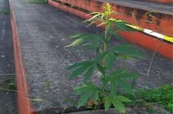 En las redes se viralizó la foto de una planta de cannabis en una de las tribunas del estadio de Brown de Adrogué.