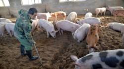 El G4 EA H1N1 fue identificado recientemente en personas que trabajan en mataderos y la industria porcina en China.