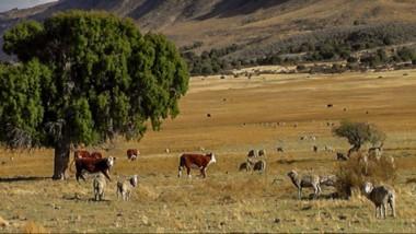 Mataderos. La zona andina demanda inversiones en infraestructura para el proceso de la carne.