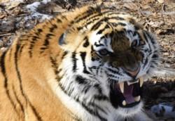 Una tigresa siberiana mató a una cuidadora del zoológico de Zúrich este sábado, según han informado las autoridades locales.