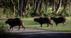 Pandemia aumenta presencia de animales salvajes en campo de golf de Río de Janeiro.