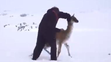 Un hombre trata de poner en pie al chulengo atrapado en la nieve.
