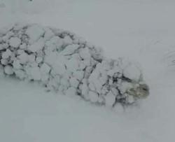 Una oveja embardada por la nieve. La CRA pide medidas urgentes para ayudar a los ganaderos patagónicos en esta crisis ambiental.