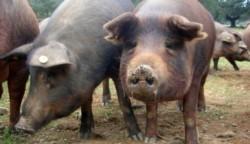 Brasil se mantiene en alerta por el potencial pandémico de una nueva variante de influenza A H1N2, que se transmite de los cerdos a los humanos.