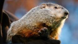 La marmota es la portadora del virus de la peste negra en Mongolia.
