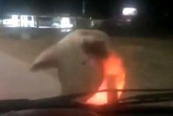 El chancho atacando el auto de la mujer.