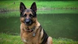 Contagiado presuntamente por su dueño, el can, un pastor alemán de siete años, contrajo el virus en abril.