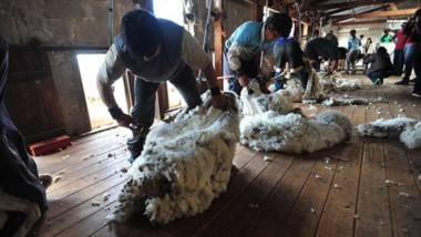 A la expectativa. En estas semanas comenzará la temporada de esquila en la provincia pero existe una gran incertdibumbre sobre la demanda y la cotización de la lana en el mercado.