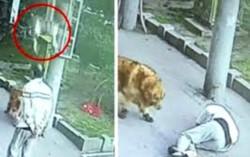 Gao Fenghua caminaba con su mascota, un golden retriever, cuando un felino cayó de un edificio y aterrizó en su cabeza.