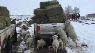 Llegó el pasto. Las chivas tratan de comer un poco de pasto de la caja de una camioneta. Los animales en la meseta sufren la falta de alimentos.