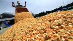 La Argentina vuelve a apostar al mercado mundial de maíz.
