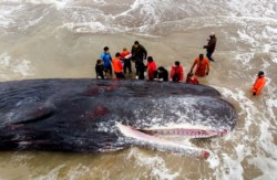 Los expertos aseguraron que el animal, de 15 metros de largo, había llegado con vida a la costa pero murió tras encallar en la arena.