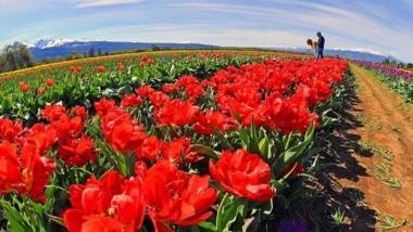 Tulipanes. Uno de los atractivos para incluir en la Marca Patagonia.
